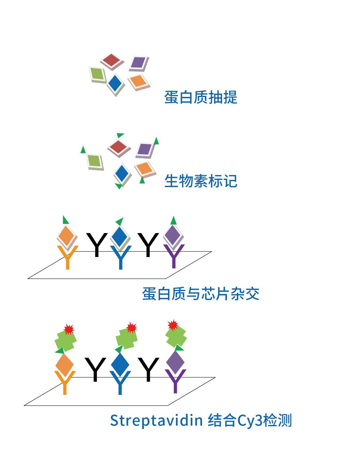 细胞因子_画板 1.jpg