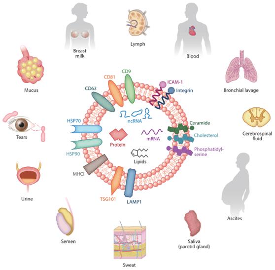 2外泌体的来源及内含物.png